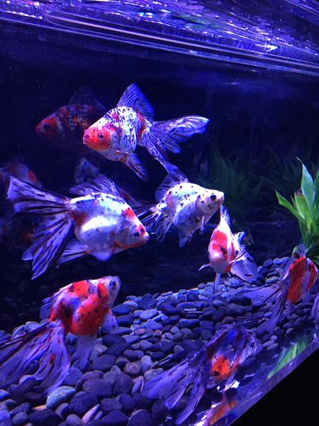 【写真あり】アートアクアリウム展大阪の金魚が幻想的で素敵 デートにも家族のお出かけにも最適